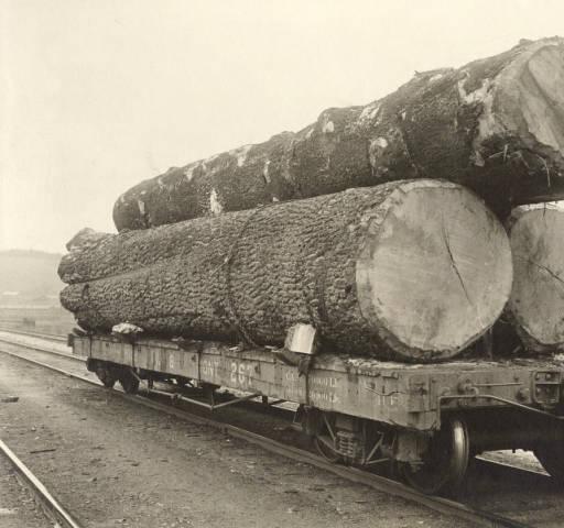 White Pine King, 1911