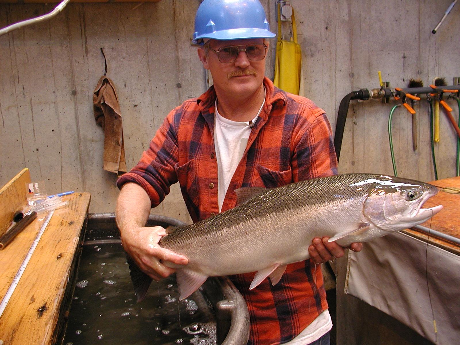 researcher tagging salmon